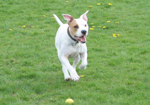 Fred the bullboxer chasing his ball